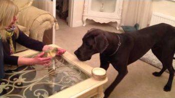 Great Dane Meets Baby Goose
