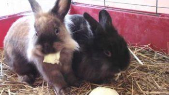 Two Cute Rabbits Eat Breakfast