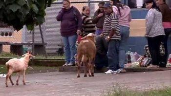 Goats Terrorizes Streets Of Brazil