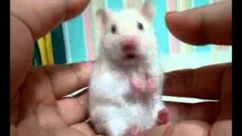 Cute Rat Shocked