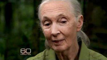 Jane Goodall 60 Minutes Chimpanzee Story