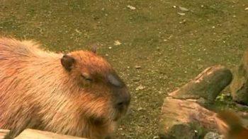 Monkey Punches Capybara's Nose