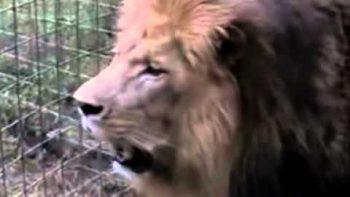 Lion Burps, Farts