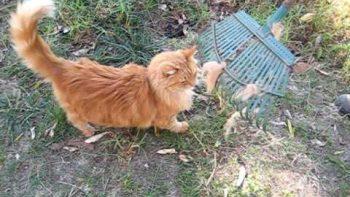 Raking A Cat, Cat It Raked To Scratch Back
