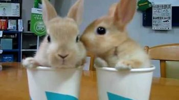 Two Bunnies In Two Cups