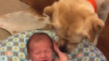 Labrador Stops Newborn Baby From Crying