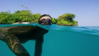 A Sloth's Search For Love – Planet Earth II
