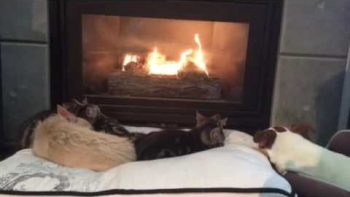 Cats And Dogs Relaxing In Front Of Fire