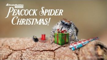 Peacock Spiders Celebrating Christmas