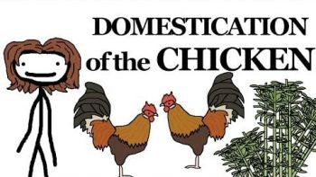 Why the Chicken Got Domesticated