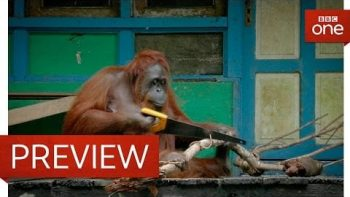 Wild Orangutan Learns How To Use A Saw