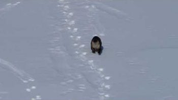 River Otter Sliding Down Snow