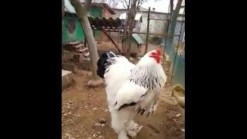 If You're Afraid Of Chickens Or Roosters You Might Want To Skip This One