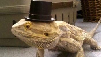 Like a sir – Lizard
