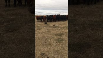 As If These Cows Have Never Seen A Beaver Before