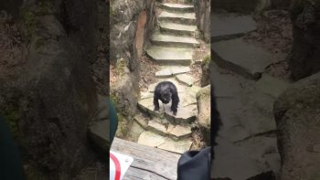 Chimpanzee Doesn't Care About His Visitors At All