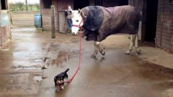 Dachshund Takes Horse For A Walk
