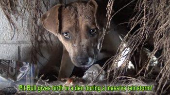 Homeless Pit Bull Gives Birth During Massive Rainstorm
