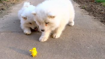 Samoyed Puppies Just Don't Know What To Do And It's Adorable