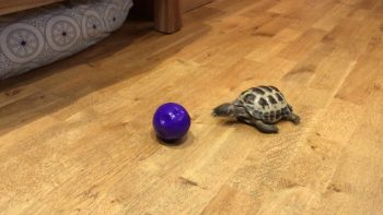 This Turtle Knows How To Plays Fetch And Is Never Bored Anymore