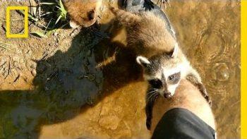 Adorable Raccoon Babies Make Human Friend