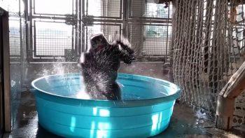 Gorilla Splashing In His Private Pool