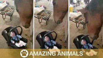 Horse Rocks Crying Baby