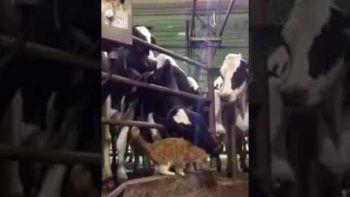Cow Has No Mercy For Cute Cat