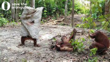 Orangutan Just Wants To Make New Friends
