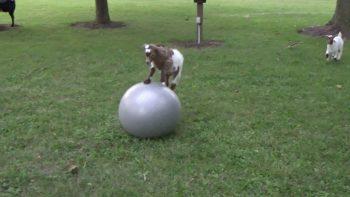 Baby Goat Loves Ball