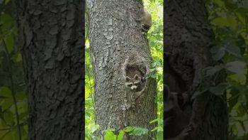 Bratty Baby Raccoon
