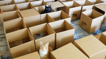 Cat Gets Lost In Box Maze