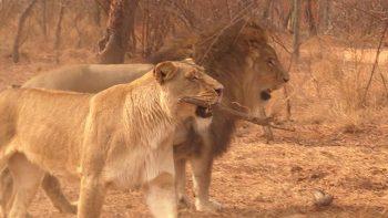 Crazy Lion Plays Fetch Like a Dog