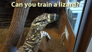 How To Train Your Lizard?