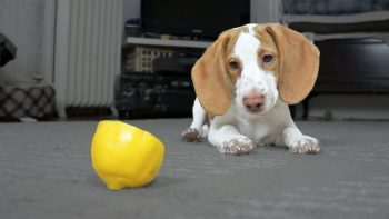 Cute Puppy vs. Lemon