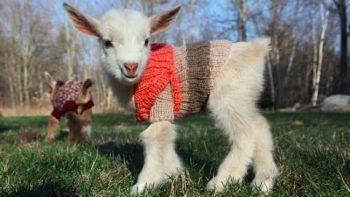 Goat Triplets In Sweaters