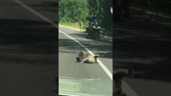 Koala Brawl On Australian Road