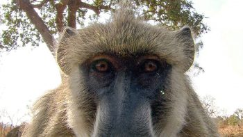 Baboons React To Their Own Reflection